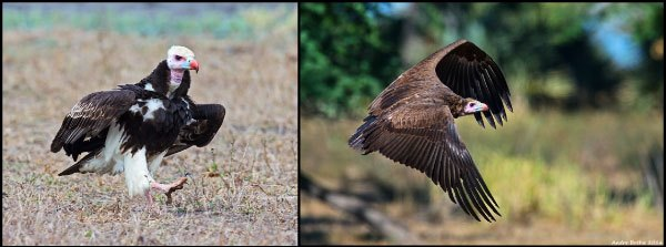 The Gorongosa-area seems to be a stronghold for the critically endangered White-headed Vulture and several individuals were observed frequenting a number of feeding opportunities during the survey period.