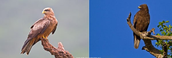 Both Yellow-billed Kites and Wahlberg's Eagles have started to arrive back in southern Africa during the last month.
